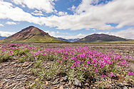 Dwarf Fireweed (Epilobium latifolium) grows in the riverbed of the Toklat River in Denali National Park in Southcentral Alaska. Summer. Morning.
