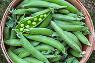 A bushel of organic peas (Lincoln Homesteader variety) freshly picked from a backyard vegetable garden