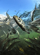 School of Ciscoes<br />