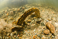 Sea Lamprey (Spawning Pair)<br />