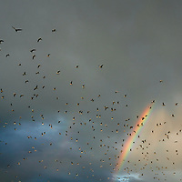 CRYSTAL RIVER, FL -- January 4, 2009 --  Seagulls fly under an early morning rainbow during a American Pro Diving Center tour to swim with manatees in Crystal River, Fla., on Sunday, January 4, 2009.  Crystal River is the home of the nation's largest population of manatees, who will often come right up to humans on the various snorkeling and scuba tours of the area.  (Chip Litherland for The New York Times)