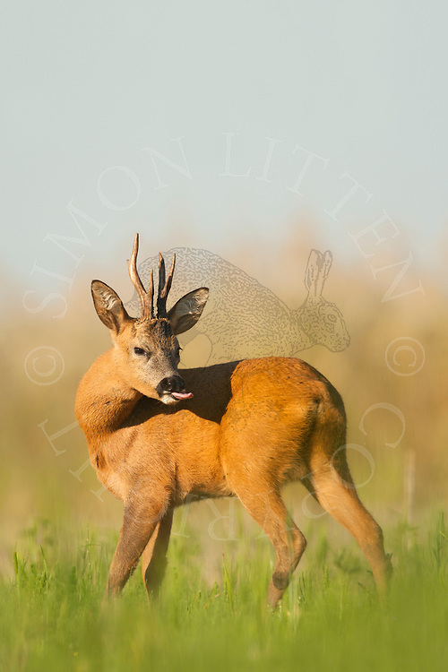 Roe Deer (Capreolus capreolus) buck in set-aside field, cleaning itself, Norfolk, UK.