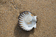 scallop on the beach in Montauk, NY