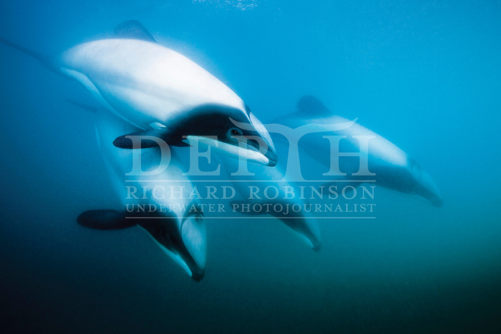 The Endangered Hector's Dolphin (Cephalorhynchus hectori hectori) inside the Akaroa Harbour in the South Island of New Zealand. Monday 29 November 2010.Photograph Richard Robinson © 2010.