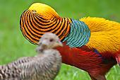 Golden Pheasant Pictures - Photos