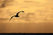 Silhouetted Albatross flying at sunset