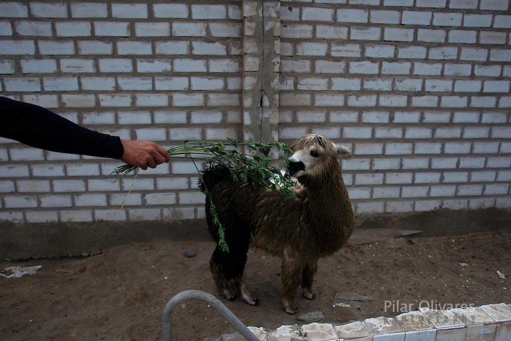 Mingo y alpaca Pisco,  Lima, Peru, Friday. (Photo Pilar Olivares)