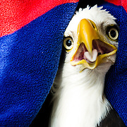 03/08/2016 - Grafton, Mass. - A bald eagle is wrapped in a towel by Dr. Maureen Murray, Clinical Assistant Professor at the Cummings School of Veterinary Medicine at Tufts University, in the flight cage at the Wildlife clinic on March 8, 2016.  In January, the six-year-old male eagle was found with an injured shoulder. It was later released to the wild. (Alonso Nichols/Tufts University)