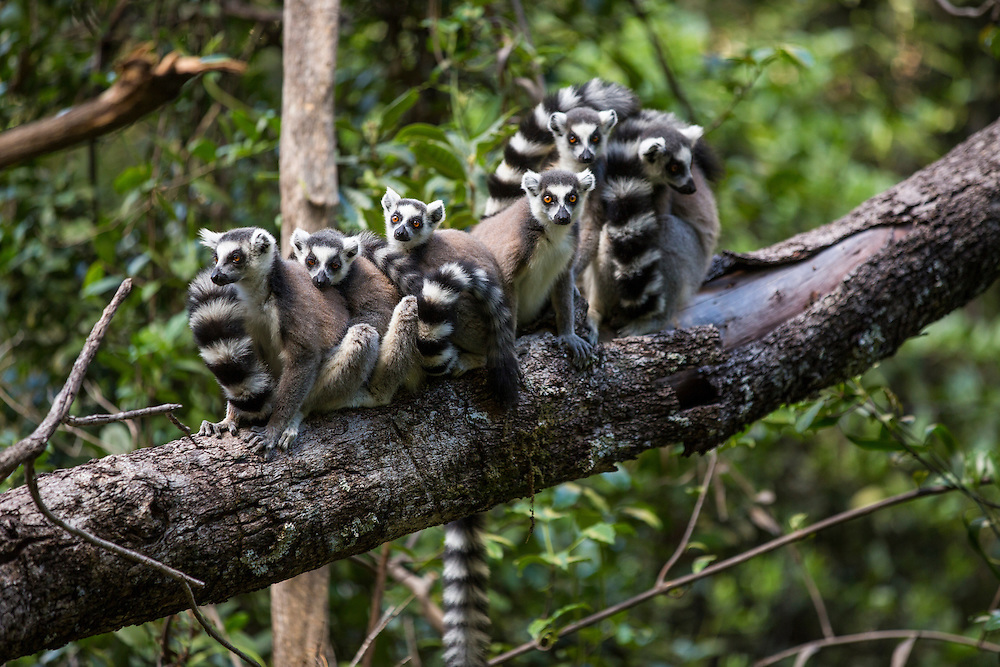 Madagascar, Isalo National Park, Ring-Tailed Lemur (Lemur catta) gathered on branch in forest in Ihorombe Region
