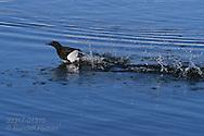 Black guillemot (Cepphus grylle) runs across icy waters gathering enough speed to take flight; Kongsfjorden, Svalbard.
