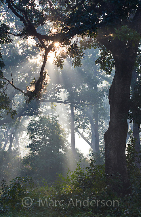 Sunlight and mist in sal forest, Bardia National Park ...