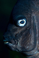 Parma alboscapularis (Black angelfish)