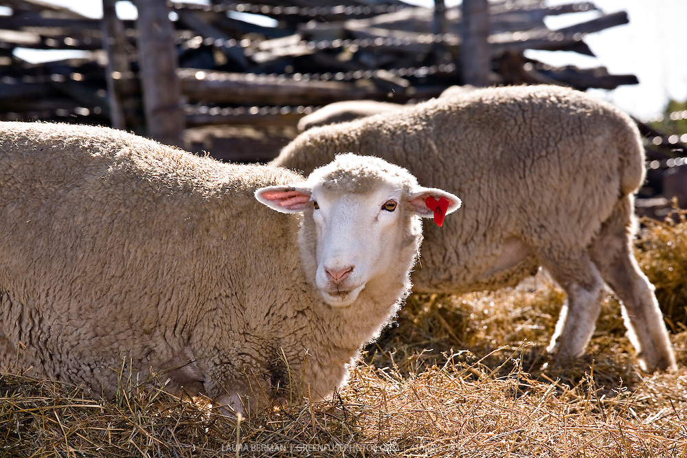 Healthy, naturally-raised sheep against a clear sky on the Harrison family farm in Bradford, Ontario. The sheep are raised without antibiotics or hormones.