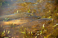 Tongue River Reservoir State Park, Montana, Common Carp, Cyprinus carpio, spawning in lake