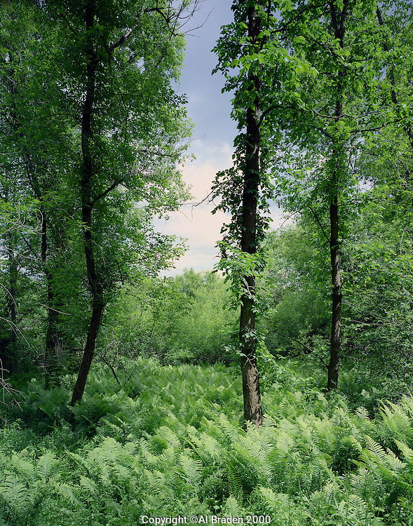 Ferns along Connecticut River, River Road, Putney, VT