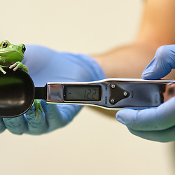 London, UK - 21 August 2013: a zookeeper weighs and measures a Waxy monkey frog (40g) during the ZSL London Zoo's annual animal weigh-in. From big cats to tiny frogs, keepers spend hours each year recording every animal's vital statistics, enabling them to keep a close check on their overall well-being.