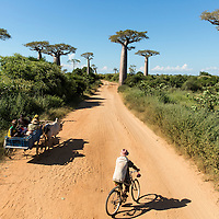 Madagascar, Allee des Baobabs (Avenue of the Baobabs) Rural villages travel by donkey cart and bicycle down dirt road past baobab trees in Tulear Province
