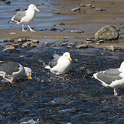 Gulls drink fresh water from a stream flowing onto a beach south of Cape Meares, near Oceanside, on the Oregon coast, USA.