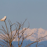 A snowy owl (Nyctea scandiaca) is perched on a bare winter tree Damon Point in Ocean Shores, Washington, with the Olympic mountains in the background. Snowy owls, which spend the summer in the northern circumpolar region north of 60 degrees latitude, have a typical winter range that includes Alaska, Canada and northern Eurasia. Every several years, for reasons still unexplained, the snowy owls migrate much farther south in an event known as an irruption. During one irruption, a snowy owl was found as far south as the Caribbean. During the 2011-2012 irruption, Ocean Shores on the Washington coast was the winter home for an especially large number of snowy owls. Snowy owls tend to prefer coastal and plains areas, which most resemble the open tundra that serves as their typical home. The owl shown here is a young bird; snowy owls become almost entirely white as they age, though females retain some of the darker coloration.