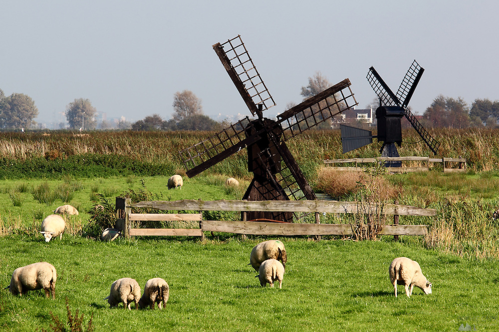 Sheep grazing in the polders at Zaanse Schans, just north of Amsterdam