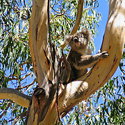 A koala climbs a tree at Koala Conservation Centre, Phillip Island, Victoria, Australia. The koala (Phascolarctos cinereus) is an arboreal herbivorous marsupial native to Australia, and the only surviving member of the family Phascolarctidae. The koala is found in coastal regions of eastern and southern Australia, from Adelaide to the southern part of Cape York Peninsula, extending inland where enough moisture supports suitable woodlands. The koalas of South Australia were mostly exterminated during the early 1900s, but have been repopulated with Victorian stock. The koala is not found in Tasmania or Western Australia. The koala is one of the few mammals (other than primates) that has fingerprints. It is generally silent, but males have a very loud advertising call that can be heard from almost a kilometer away during the breeding season. The koala requires large areas of healthy, connected forest and will travel long distances along tree corridors in search of new territory and mates. Human encroachment cuts these corridors with agricultural and residential development, forestry, and road-building, marooning koala colonies in decreasing areas of bush.