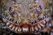 Saurida gracilis (Slender Lizardfish)