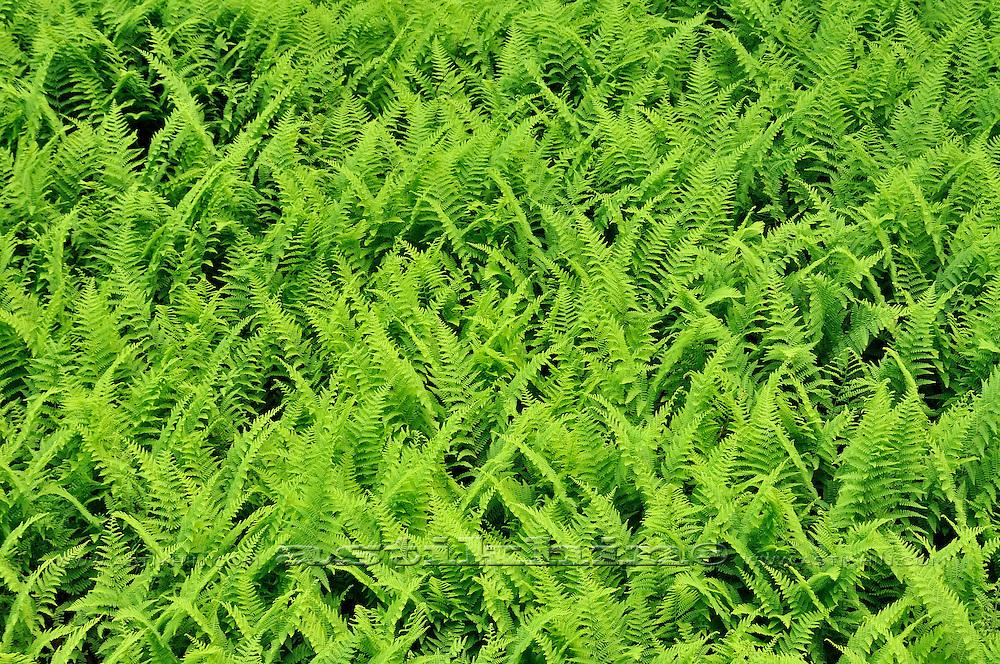 Green field of Fern Plants.