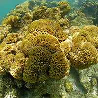 Healthy coral reefYellow soft suncoral
