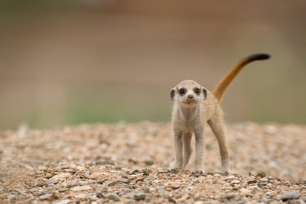 Africa, Namibia, Keetmanshoop, Meerkat Pup (Suricate suricatta) walking outside burrow in Namib Desert