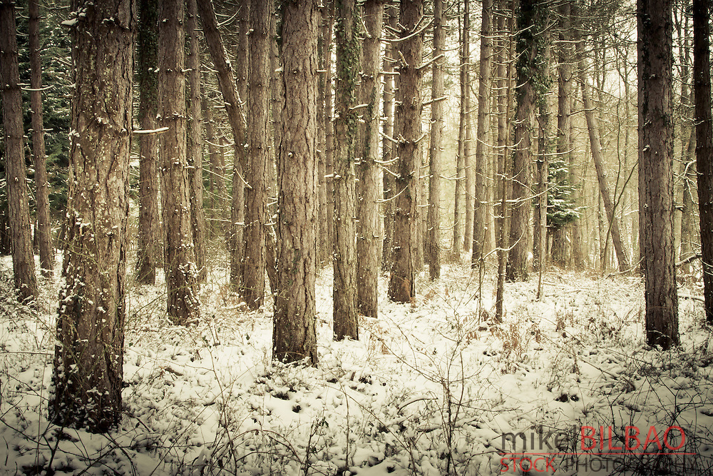 Snow covered conifer forest. Gorbeia Natural Park, Alava, Basque Country, Spain.