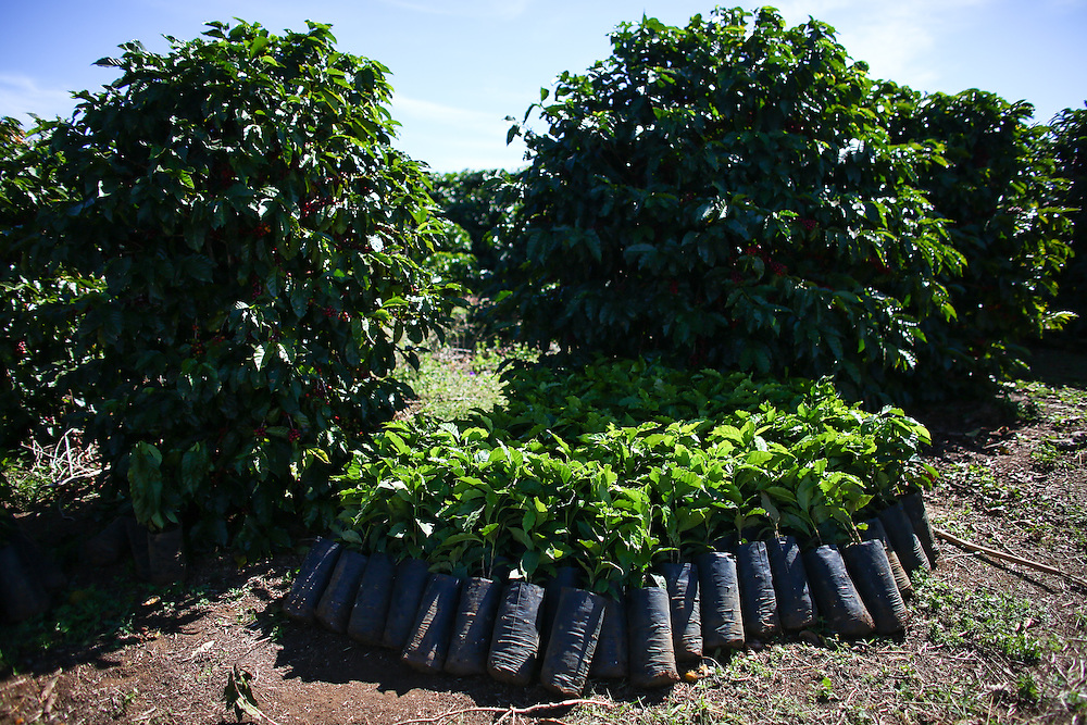 Coffee trees are shown during the 2016 Starbucks Origin Experience for Partners. Photographed in January 2016. (Joshua Trujillo, Starbucks)