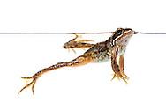 Common frog, Scotland