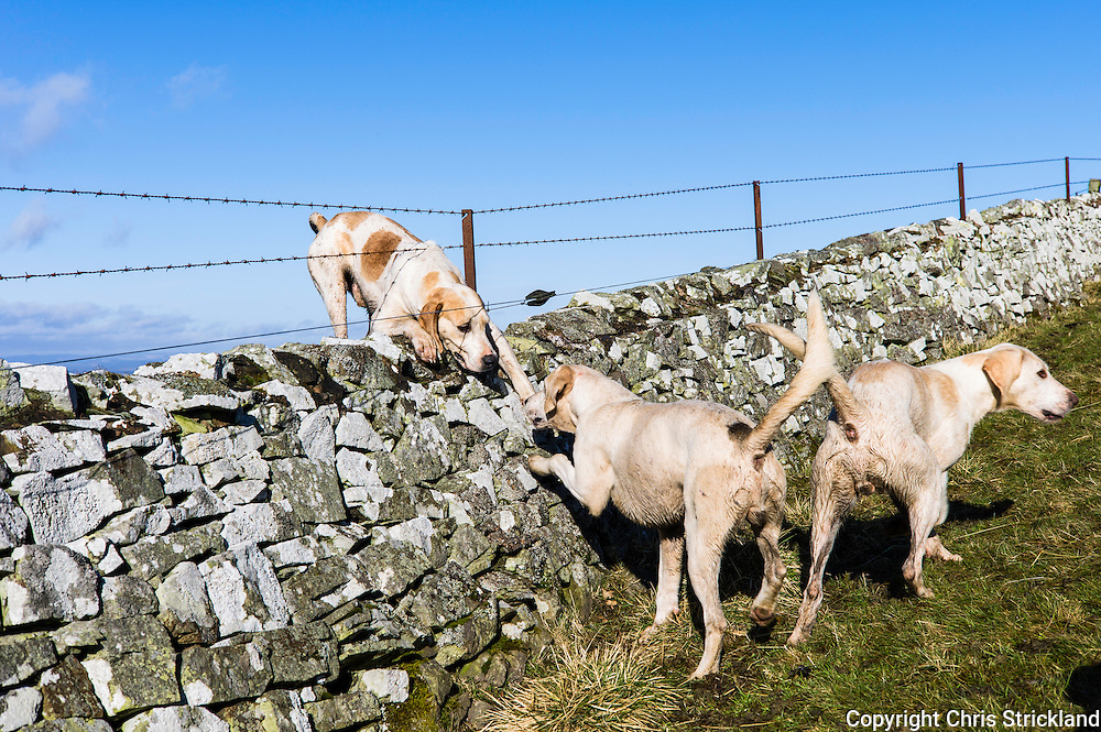 Jedburgh, Scottish Borders, UK. 16th February 2016. Foxhounds of the Jedforest Hunt cross a dry stone wall while out foxhunting in Scotland.