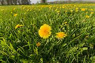 Dandelion (Taraxacum officinale) filled yard, wideangle close-up