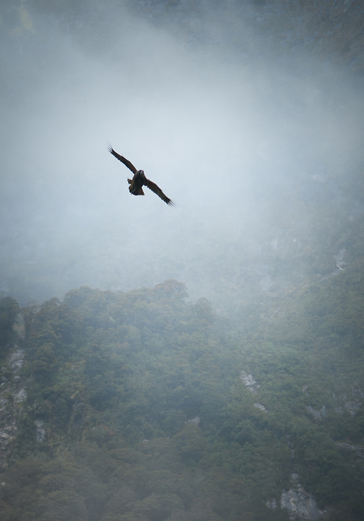 The Kea is a native New Zealand parrot famous for its inquisitive and playful nature, seen here in flight above the Milford Track, Fiordland