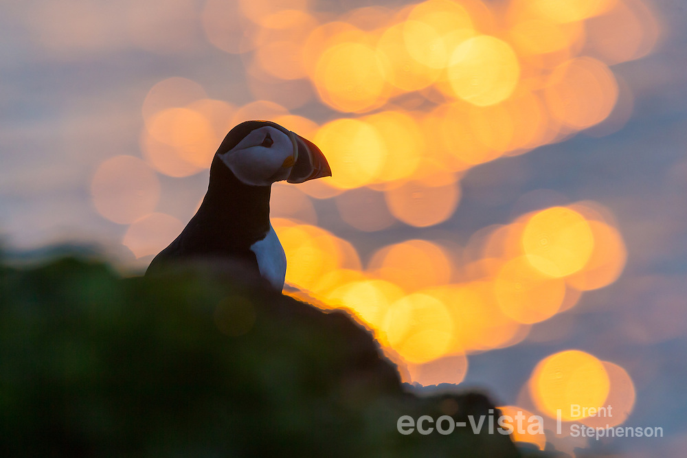 An Atlantic puffin (Fratercula arctica) stands on a rock on the edge of the breeding cliffs, against the setting sun, right on the Arctic Circle. Grimsey, Iceland. July.