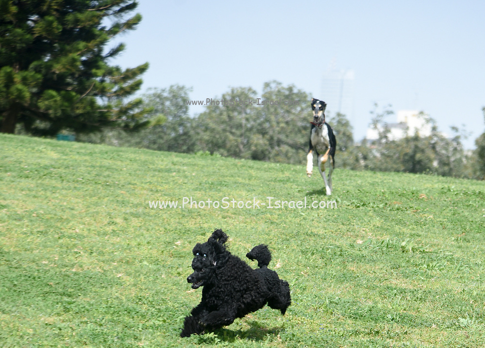 Playful Black Miniature Poodle and Saluki (Persian Greyhound) running and playing on the grass outside