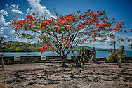 Flame tree in the Spanish fort of Fuerza de Santa Isabel, built in 1667, to defend their new colonial possession from indigenous Tausug war boats on Taytay Bay seeking to regain this territory.  Palawan, Philippines.