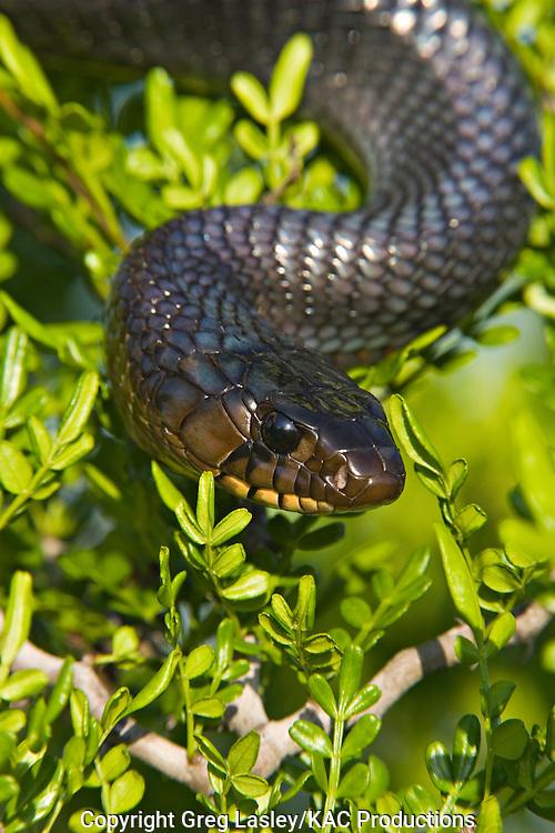 Texas Indigo Snake.Drymarchon corais erebennus.Los Charcos Ranch.near McCook,.Hidalgo Co., Texas.13 June 2006