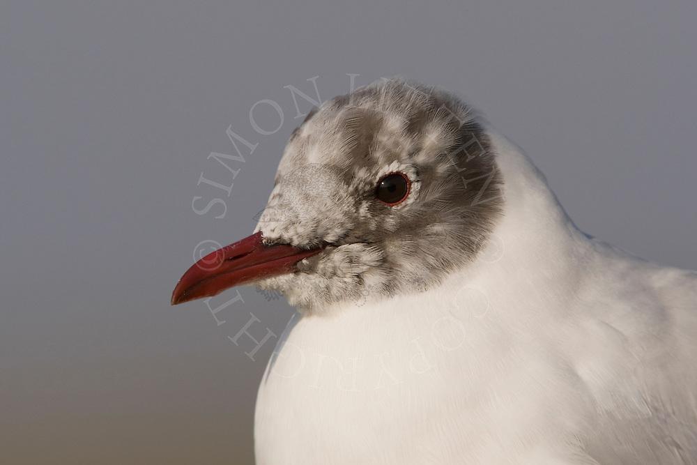 Black-headed Gull (Larus ridibundus) adult, close up of head, eclipse plumage.