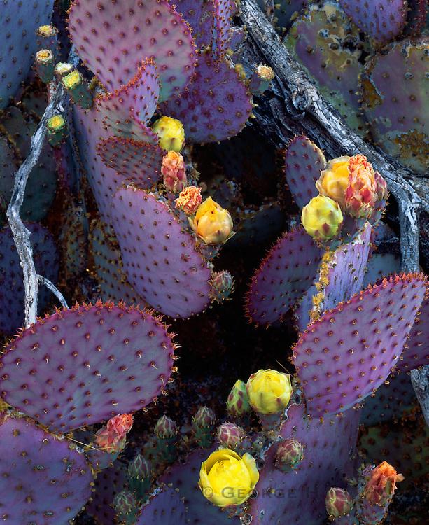 0182-1006 ~ Copyright: George H.H. Huey ~  Santa Rita pricklypear cactus with blossoms.  Sierrita Mountains, Pima County, Arizona.