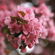 """Pink Crabapple Blossoms"""