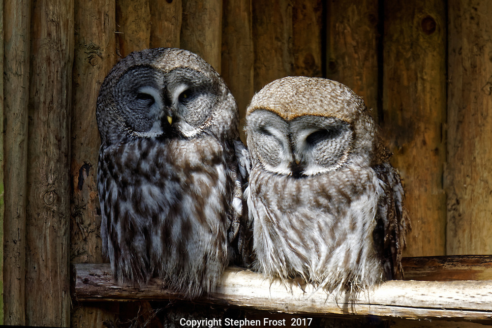 The great grey owl or great gray owl Strix nebulosa is the world`s largest species of owl by length. It is also called Phantom of the North, cinereous owl, spectral owl, Lapland owl, spruce owl, bearded owl, and sooty owl.