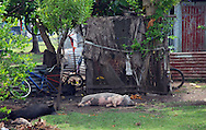Domestic pigs lazing outside a village house, Tonga