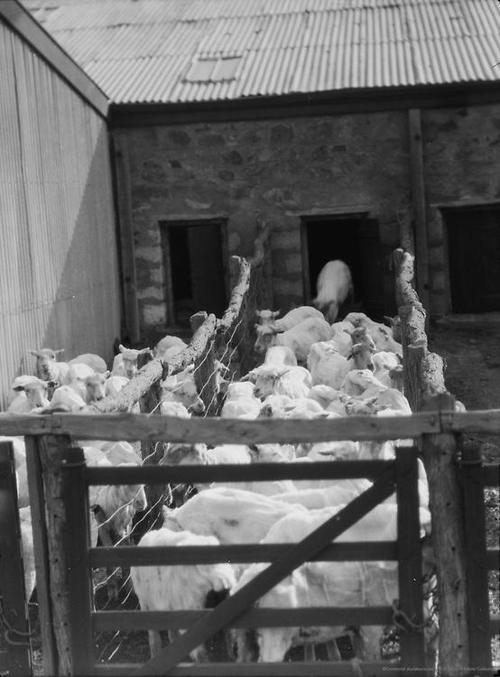 Shearing Sheep, Wilgena Sheep Station, South Australia, 1930