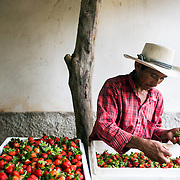 Marco Dominguez, a day labourer, is sorting strawberries picked that morning on Emiliano's farm. Emiliano Dominguez, 33, is a strawberry, beans and potato farmer in western Honduras. The father of three joined the USAID ACCESO project in 2013. Since then Emiliano has witnessed a significant increase in his crop production. Strawberry farming has been particularly profitable. In the three years since Emiliano joined the CropLife funded program, he has been able to buy more land, a truck to deliver his products, build a modern house with running water and electricity, and buy a television with a satellite dish. Emiliano is optimistic about the future and proud to be able to give his children the childhood and education he didn't get. Guice, Intibucá, Honduras.