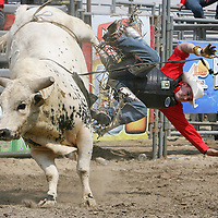 Viny Morales falls off his bull during the Barretos na America rodeo at the Brockton Fairgrounds, Sunday,  May 24, 2009.