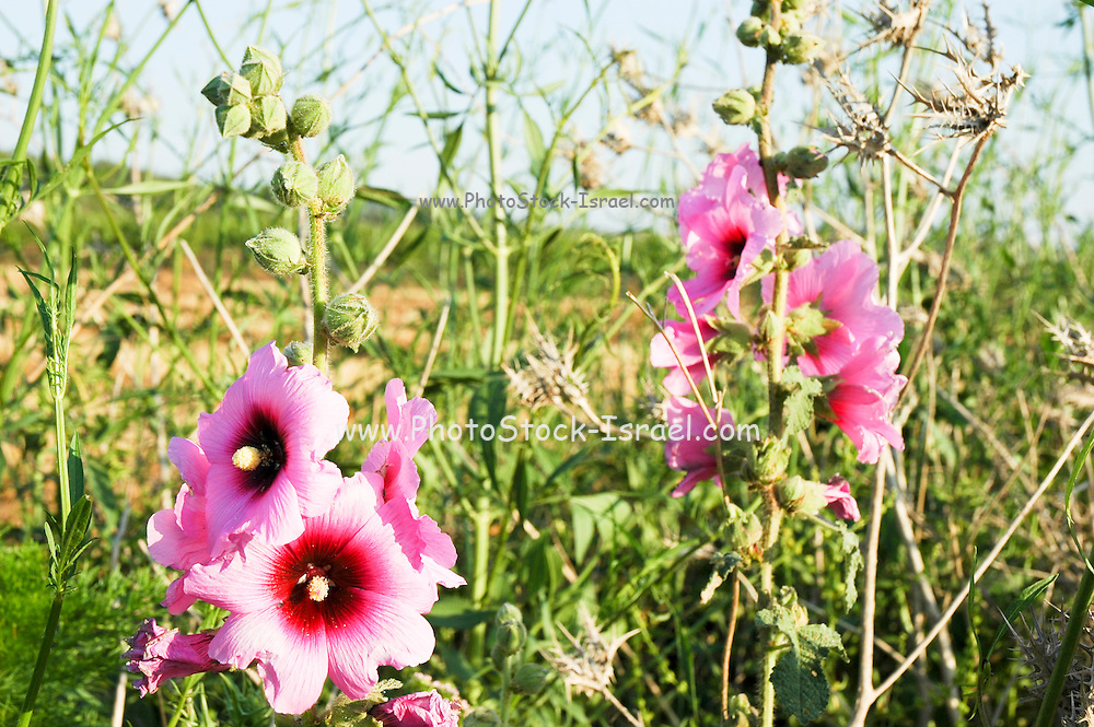 Israel, Alcea setosa - Bristly Hollyhock. growing to 3.5 m tall, with broad, rounded, palmately lobed leaves and numerous pink mauve flowers, on the erect central stem.