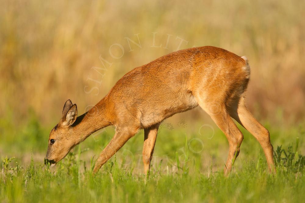 Roe Deer (Capreolus capreolus) doe in set-aside field, Norfolk, UK.