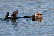 California Sea Otter (Enhydra lutris) warming its feet in the morning sun